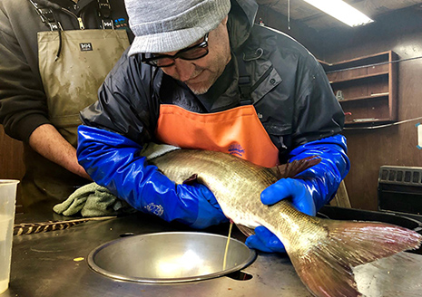 DNR Won't Be Taking Muskie, Walleye Eggs This Year