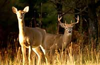 Prospects Good for Deer Hunters