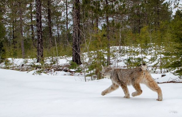 Canada Lynx Released Safely to the Wild in Upper Peninsula