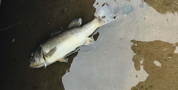 Largemouth Bass Virus Re-emerges; Confirmed in Iosco County Lake