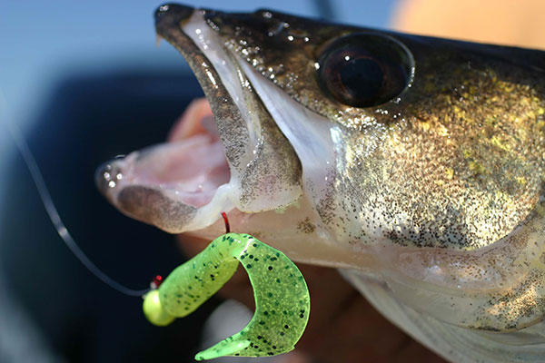 Indiana Walleye Stocking Program Continues to Grow