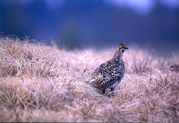Michigan's Sharp-Tail Grouse Offer Unique Hunting Opportunity