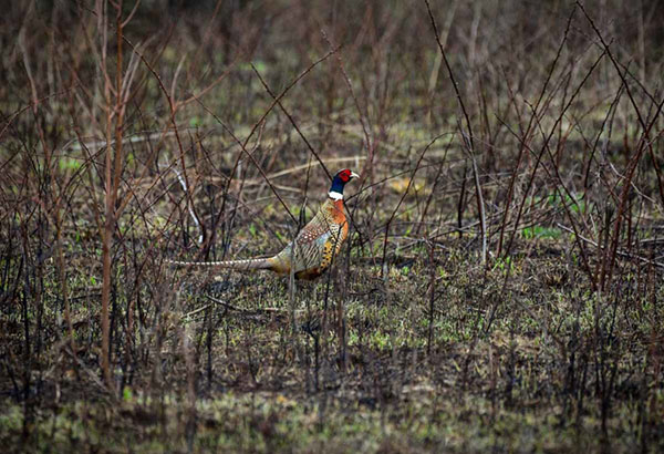 Reserve a Spot for Put and Take Pheasant Hunts Sept. 5