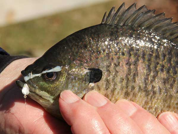 Panfish can't steal Chena Bait