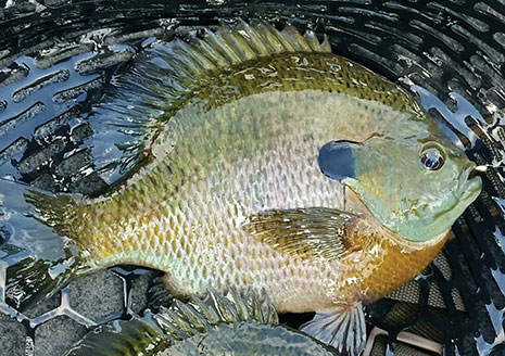 The Tungsten Advantage for Summer and Autumn Panfish