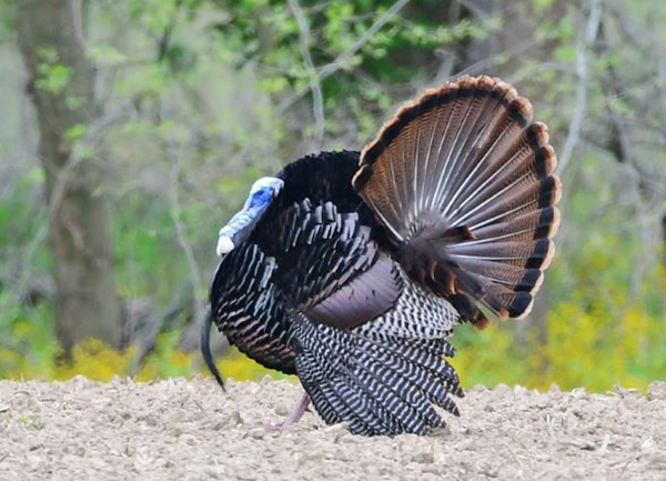 Indiana Announces Applications for Reserved Turkey Hunts