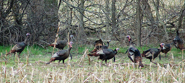 Turkey Group - Photo by David Hamrick