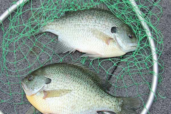 Panfish for Michigan fish limits
